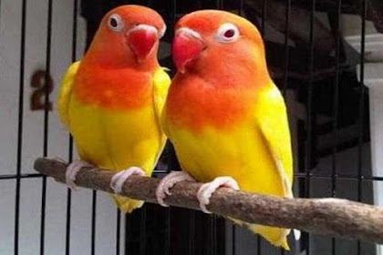 Ciri-Ciri Lovebird Lutino Mata Merah Yang Bagus