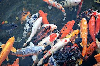 Budidaya Ikan Air Tawar yang Menguntungkan