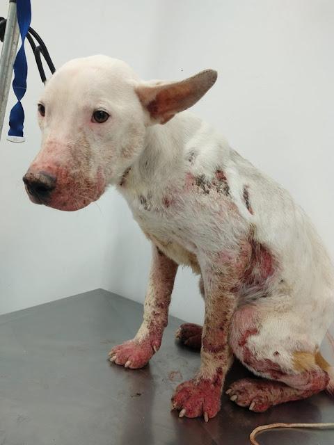 Mulher leva multa de R$ 3 mil por maus-tratos a cachorro da raça bull terrier