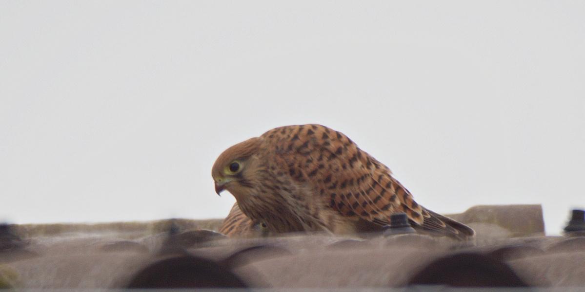 Kleine Fotoserie: Ein Jungfalke lernt das selbstständige Fressen (1)