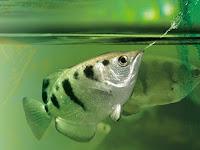 Fakta Si Ikan Pemanah (Ikan Sumpit / Archer Fish)
