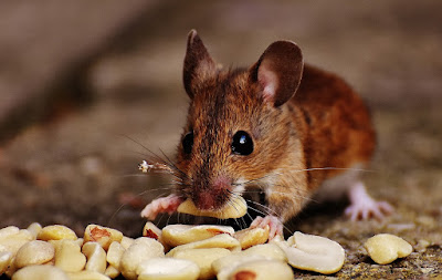 cara membuat racun tikus ampuh ( Terbukti)