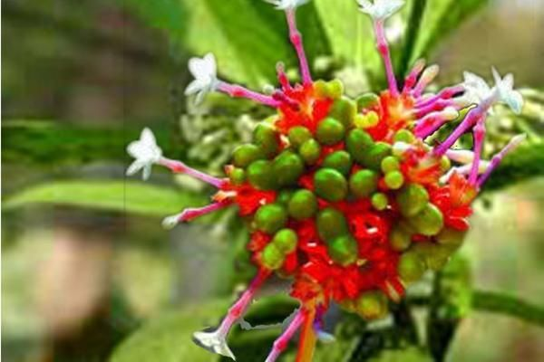 Rauwolfia serpentina (also spelled Rauvolfia serpentina), a member of the Apocynaceae family and known as 'Indian snake root' or 'Sarpagandha'