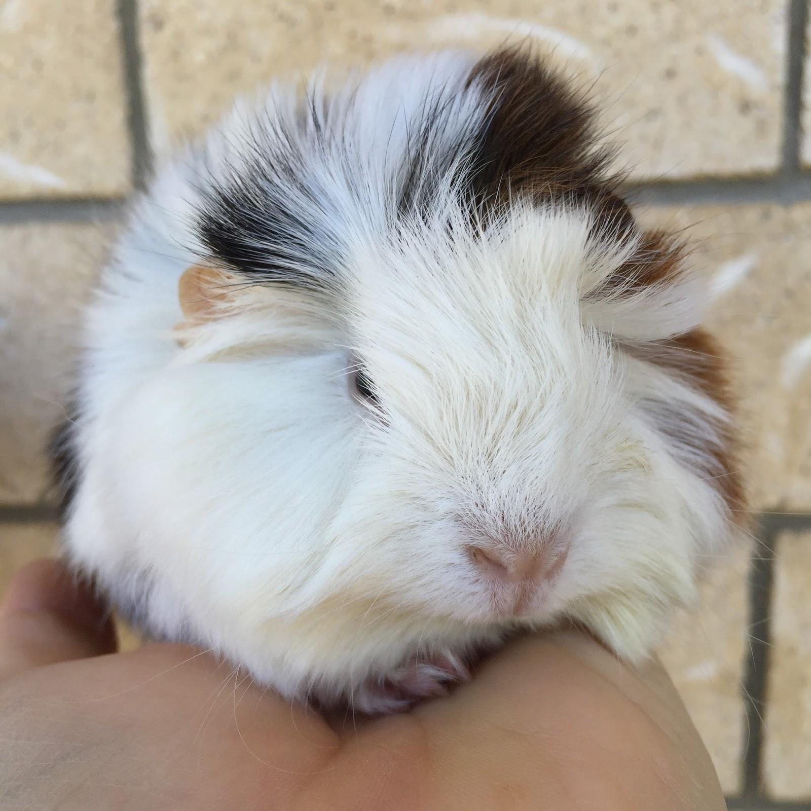 All Things Guinea Pig: Peruvian baby boy
