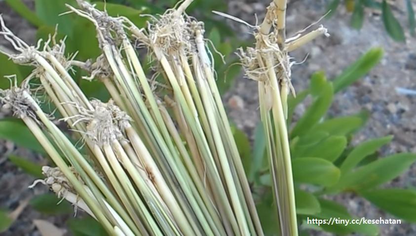 photo tanaman akar alang-alang