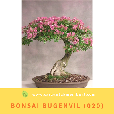 Bonsai Bugenvil (020)