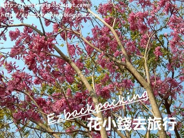 香港紫花風鈴木開花情報