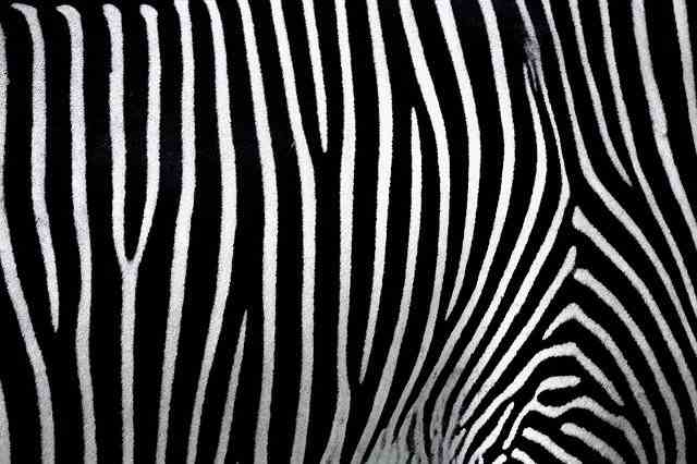 zebra white and black line fact