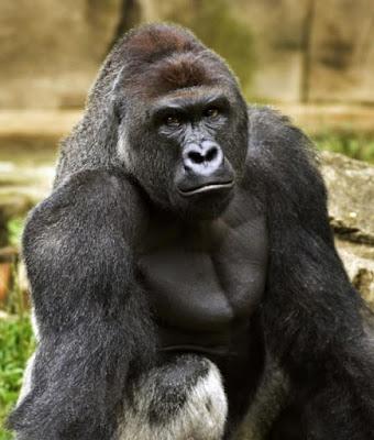 Gorila assassinado em zoológico dos EUA. Pelo direito dos animais viverem em paz. Direito animal
