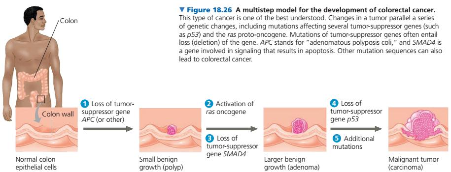 Penyebab Penyakit Kanker (Oncogen, Proto-oncogen dan Tumor-Suppressor ...