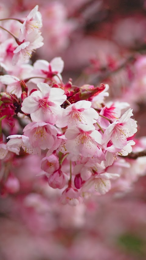 Nhánh hoa Sakura đẹp