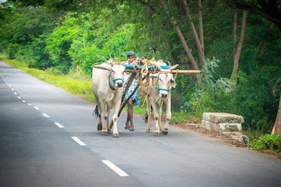 माझा आवडता प्राणी बैल। maza avadta prani bail, ox essay in marathi, bullock essay