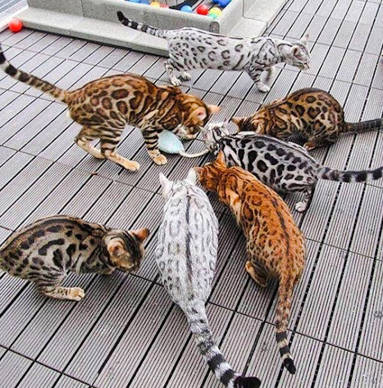 Rainbow of colors and patterns of Bengal cats