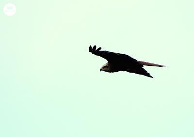 Milano negro (Milvus migrans)