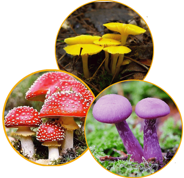 Pict: Fungi species exist in a variety of distinctive shapes and sometimes striking colors.