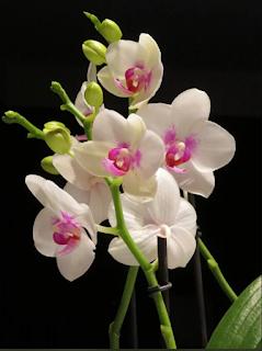 bunga angggrek tercantik