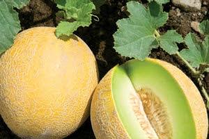 7 Manfaat Melon untuk Kecantikan Wajah