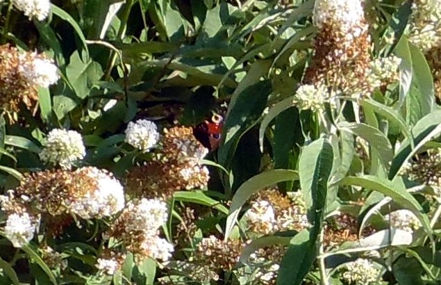 A Peacock butterfly visiting a big Buddleia bush in Brigg - August 2020 - picture on Nigel Fisher's Brigg Blog