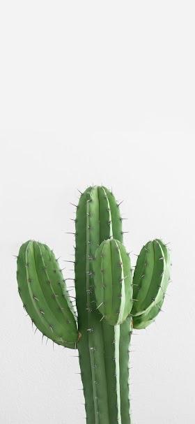 خلفية نبتة الصبار الخضراء أمام جدار أبيض