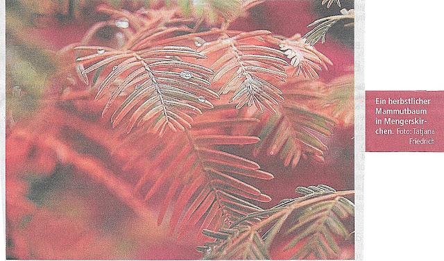 Mammutbaum in Mengerskirchen-Indian Summer