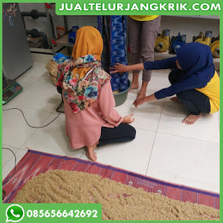 Jual Bibit Jangkrik Yogyakarta