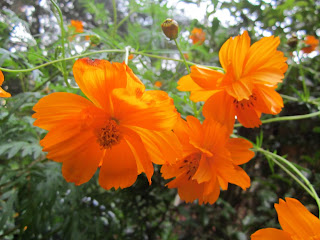 Photo of orange cosmos flowers