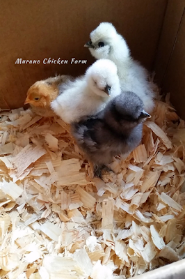 Silkie chicks with vaulted skulls.