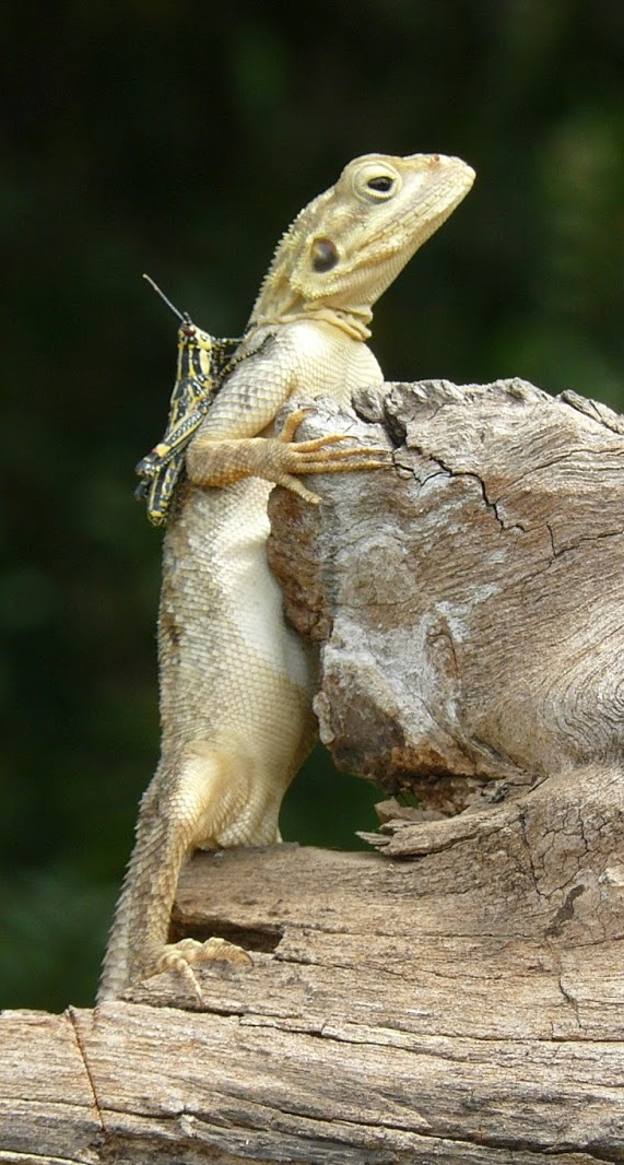 A grasshopper riding a lizard.