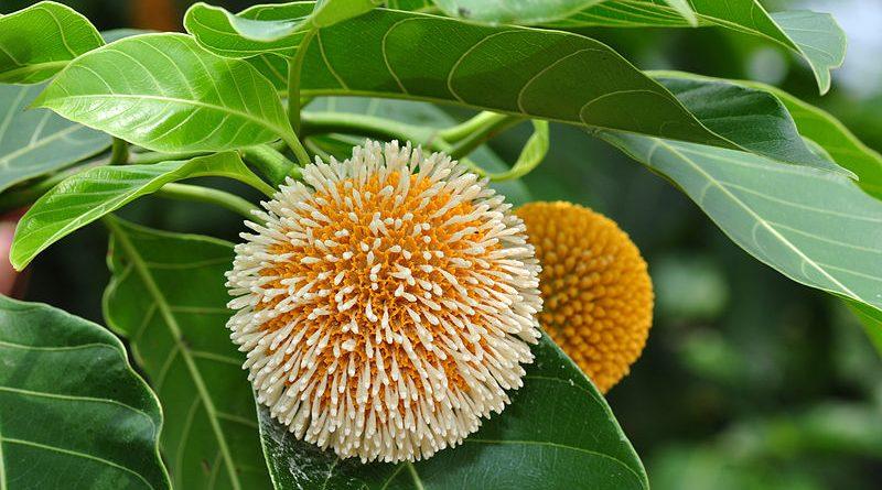 800px Kadam Flower1