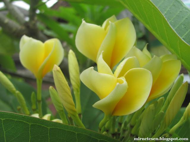 Райский бали - цветы плюмерии (франжипани)