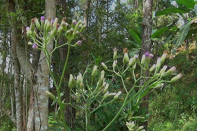 Dlium Little ironweed (Cyanthillium cinereum)