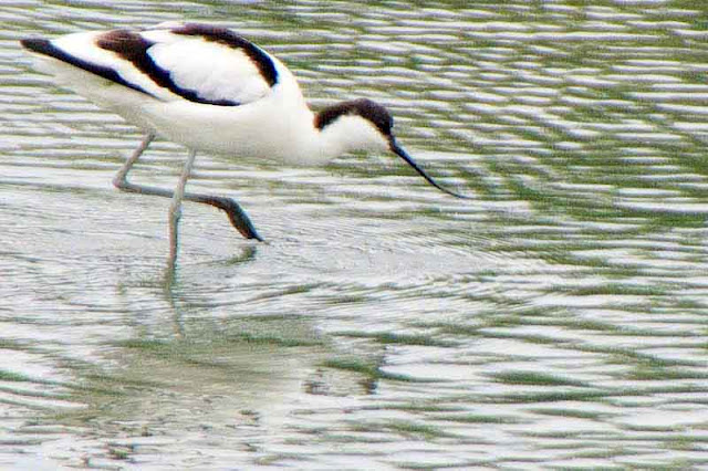 bird, Avocet, water, webbed foot