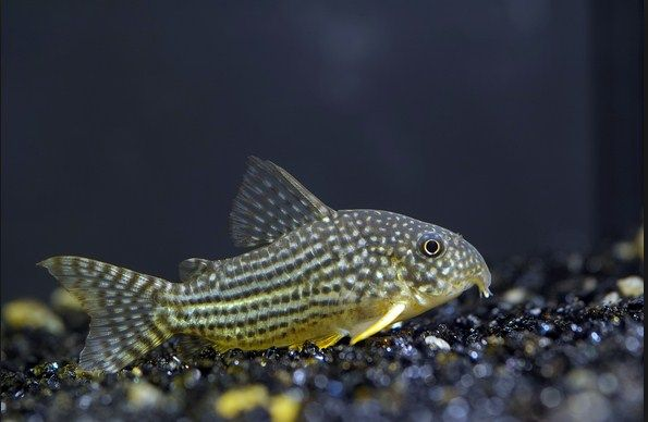 Nama Nama Jenis Ikan Hias Air Tawar yang Populer Dipelihara Beserta Gambarnya