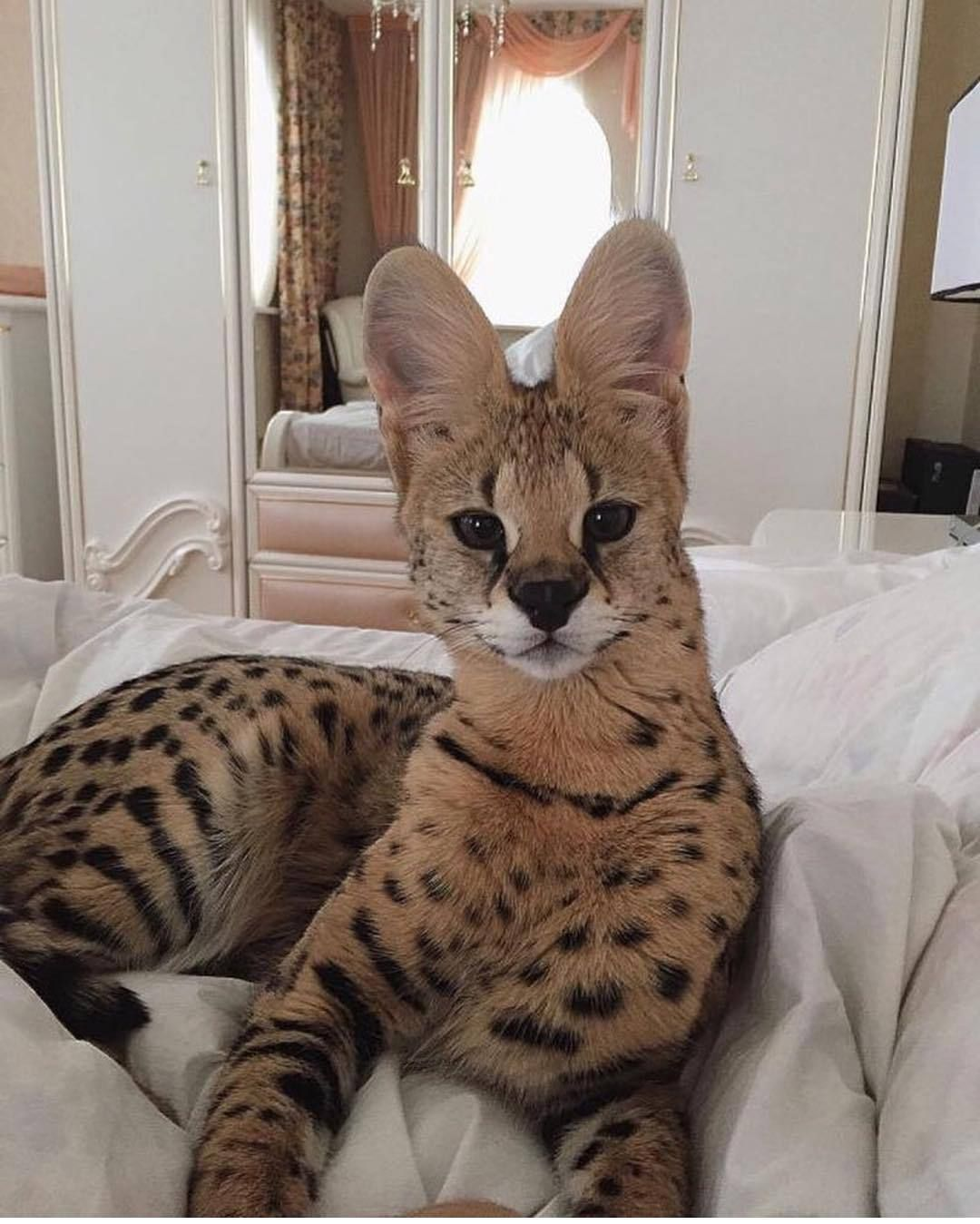 Cats Savannah Cat Size F1