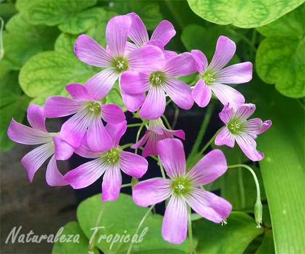 Variedad morada de la flor de Oca, género Oxalis