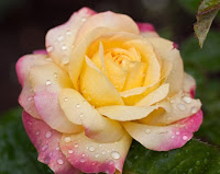 A dew-kissed yellow and pink Peace Rose