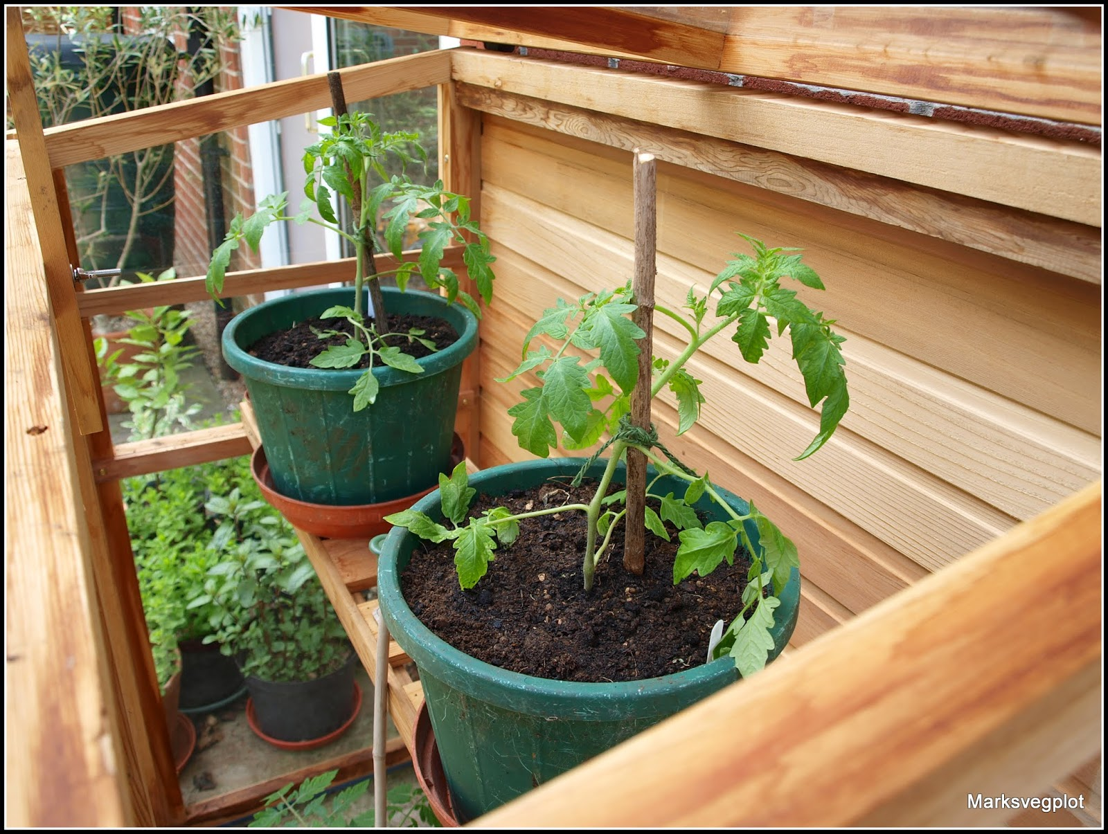 Mark\'s Veg Plot: Tomatoes - squeezing in a few more!
