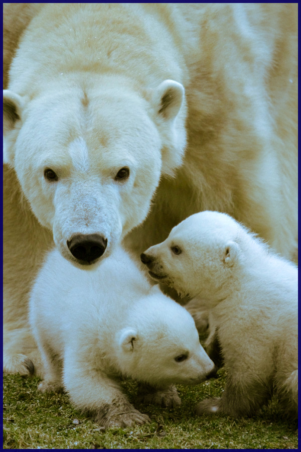 "Polar Bear Mother and Cubs. MamaBear: ""What are you looking at?"" #adorable #animals #bear #cubs #mamabear #babybear"