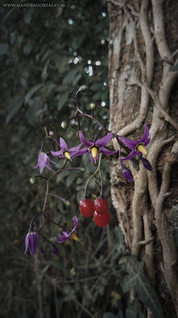 Solanum Dulcamara, Bittersweet Nightshade, Amaradulce, Amara Dulcis