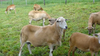 Pelibuey Sheep Facts, Size, Weight, Lifespan, Milk Production