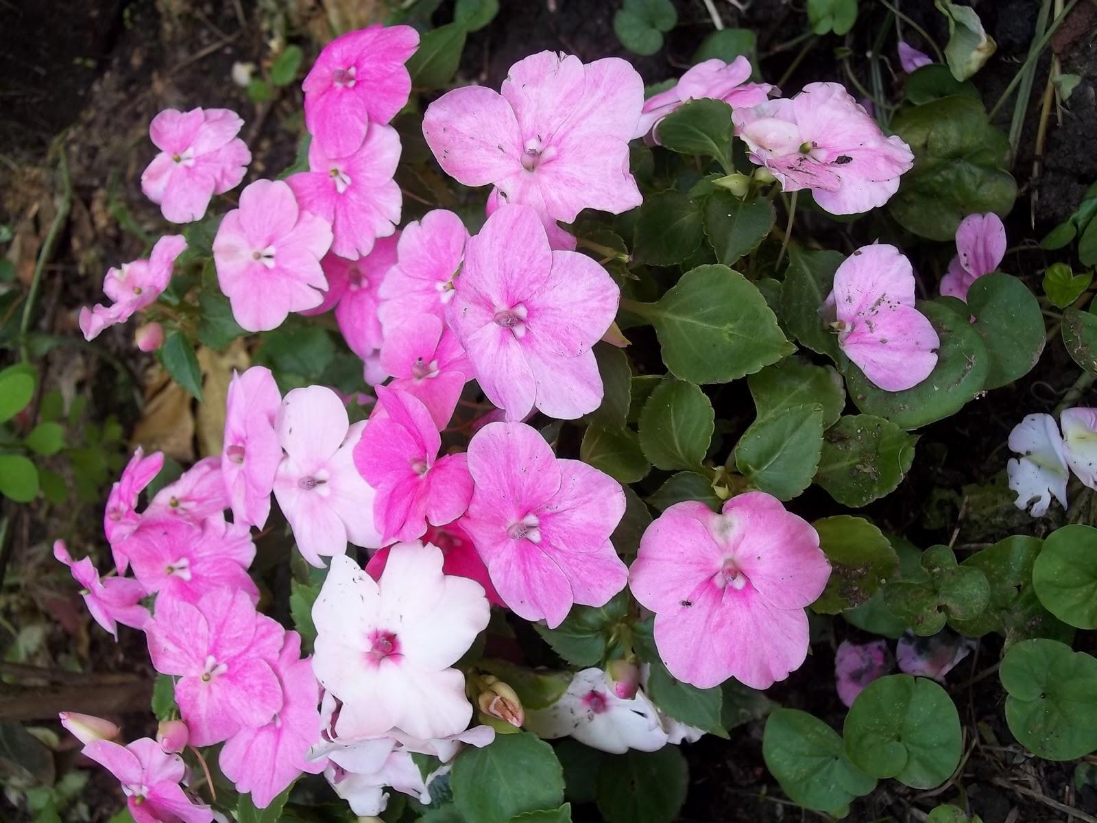 Algunas plantas de mi jard n - Alegria planta cuidados ...