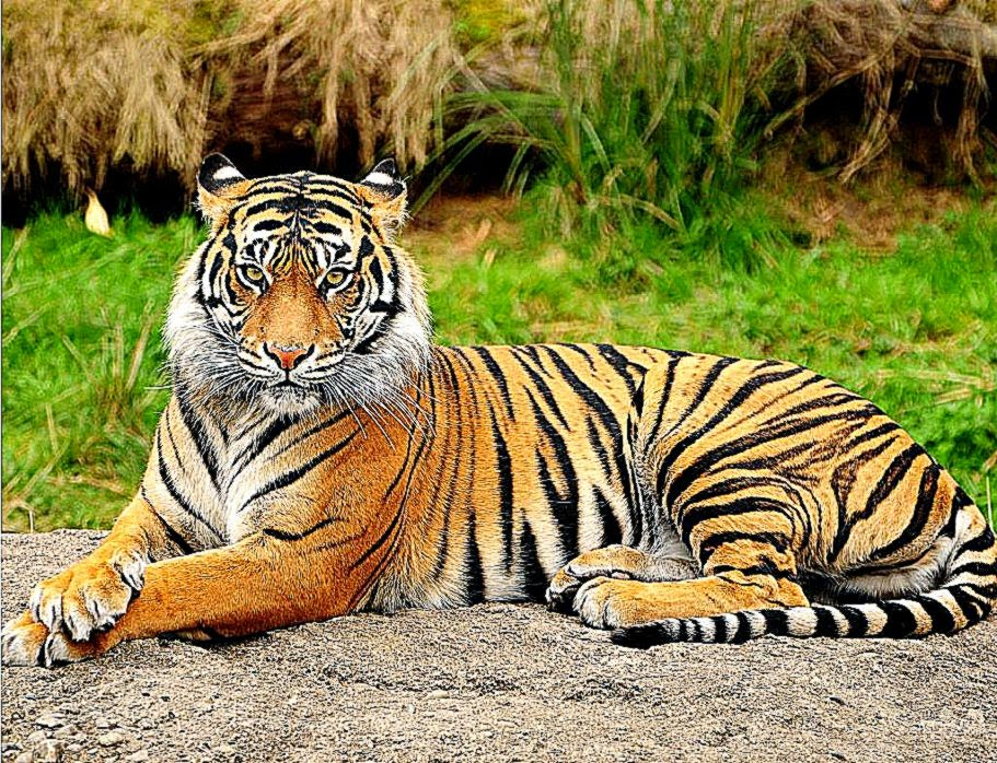 Tiger Wallpaper Download Cool Hd Wallpapers