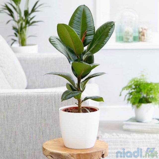 harga jenis dan manfaat tanaman karet hias kebo