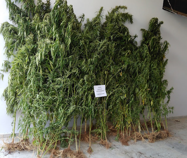 Εντοπίστηκε φυτεία με 60 δενδρύλλια κάνναβης στην Αργολίδα