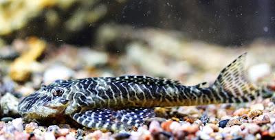 Ikan Sapu-Sapu Pseudolithoxus tigris ( Pleco L257 ) - Ikanesia