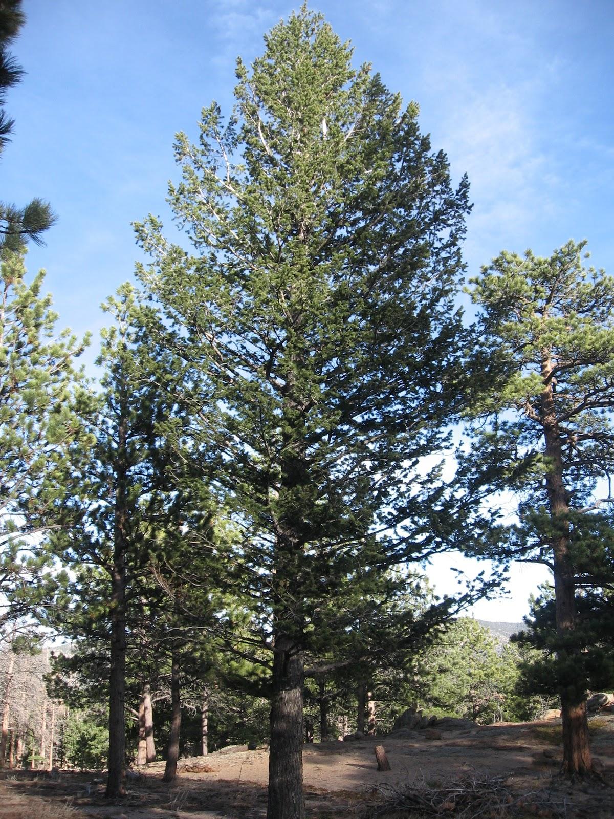 Trees Of Santa Cruz County Melaleuca Quinquenervia: Rocky Mountain Bushcraft: Rocky Mountain Tree