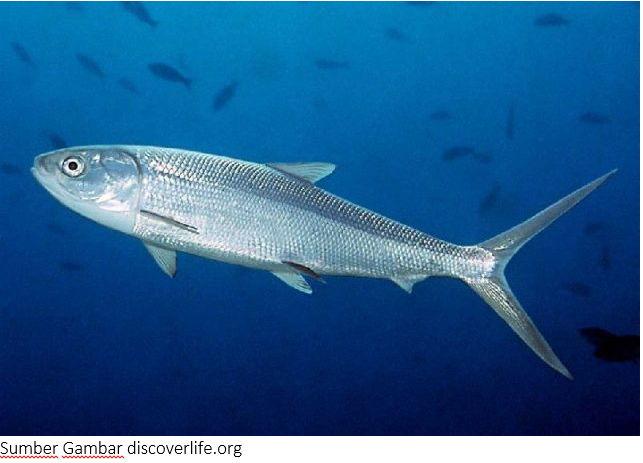 Ikan Laut Terlengkap