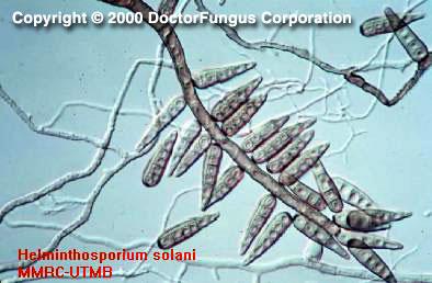 boala helminthosporium)