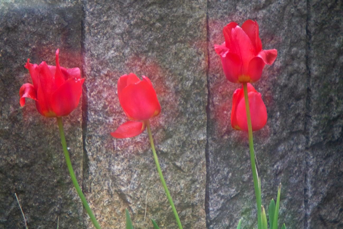 Bilder des Tages #75 - Meine glühenden sieben Tulpen