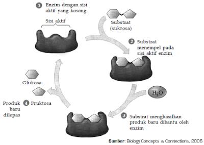 Pengertian, Struktur, Sifat-Sifat, Mekanisme dan Cara Kerja, Tata Nama serta Jenis-Jenis Enzim